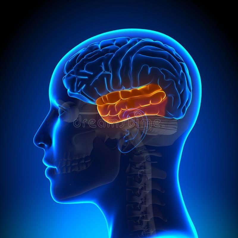 Lobulos Cerebrales Y El Cerebelo Infogram